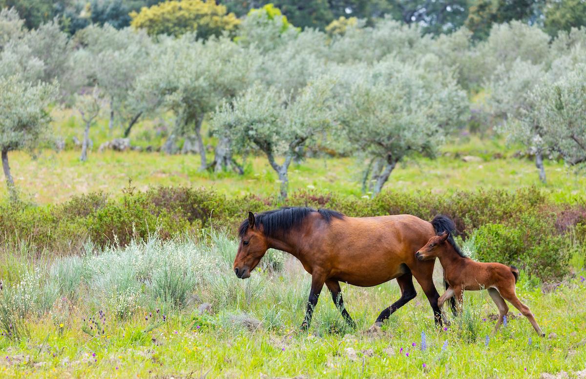 Garrano Horses, Faia Brava, Côa Valley, Western Iberia, Portugal, Europe, Rewilding Europe