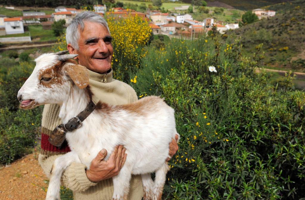 Domestic goats eating bush., Salamanca Region, Castilla y León, Spain