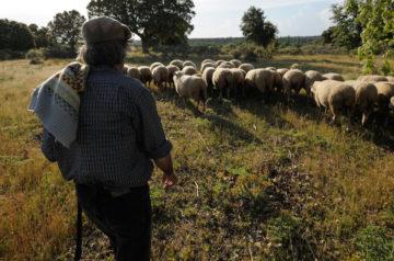 Shepherd in Campanario de Azába, Salamanca region, Spain